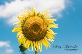 SunflowerMazeWMSM-3
