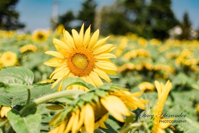 SunflowerMazeWMSM-5