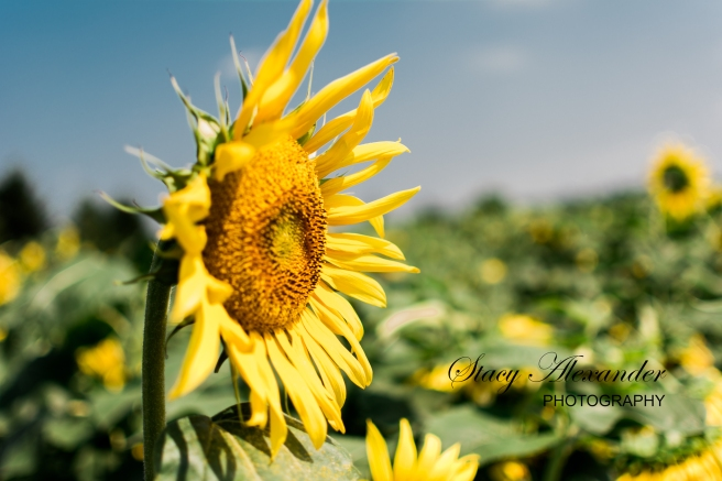 SunflowerMazeWMSM